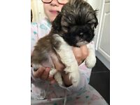 Gorgeous shih tzu puppies for sale