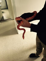 Corn Snake available for free to good home