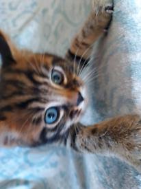 Bengal cross Tabby kittens