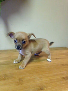 Holiday Special! Chihuahua Puppies! Sale Price Downtown-West End Greater Vancouver Area image 6