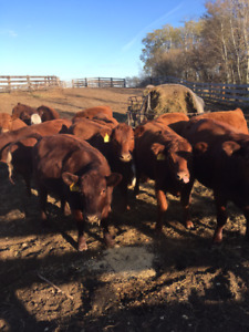 15 Red Angus Simmental cross bred heifers