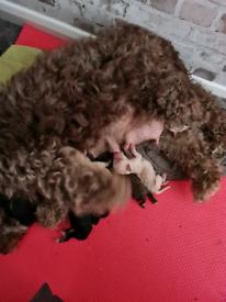 Cockapoo puppy's f1b