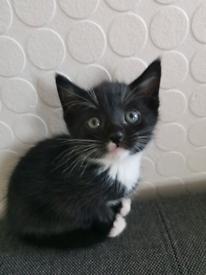 Black kitten male 8 weeks £220