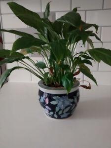 Indoor Plant with Ceramic Pot
