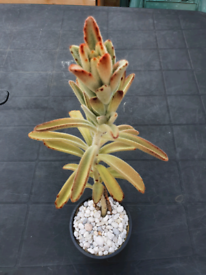 """""""Succulent"""" plant (indoors and outdors)"""