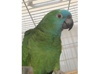 Talking blue fronted Amazon parrot with large cage