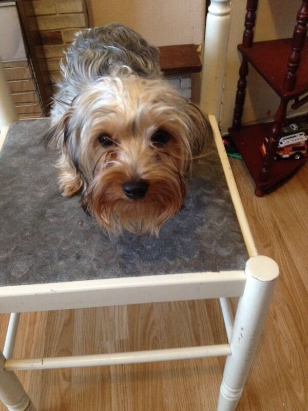 Yorkshire Terrier Female 5months Old Male 6 Months In Rotherham