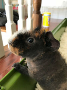 Male Skinny Pig for Sale