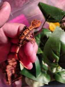 Baby crested gecko BLACK FRIDAY PRICE REDUCTION Kingston Kingston Area image 3