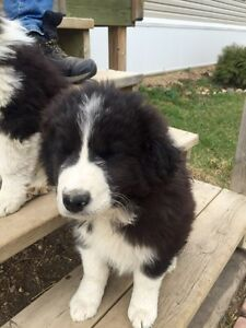 Border collie cross Great Pyrenees pups