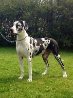 62.5% RUSSIAN EUROPEAN GREAT DANE PUPPIES DUE SEPT.