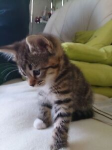 MANX X KITTENS NEED HOMES TODAY PLEASE