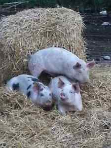 Naturally raised pigs to trade or swap!!!