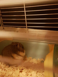 Three months old male hamster