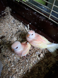 Cockatiels- Lovebirds- Rosie Bourkes