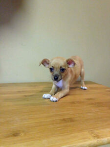 Holiday Special! Chihuahua Puppies! Sale Price Downtown-West End Greater Vancouver Area image 7