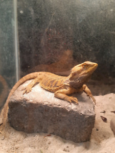 Bearded dragon looking for new home :)