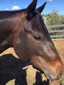 5 Year Old Quarter Horse Mare