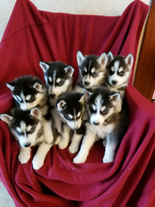 Siberian Husky Pups - Only Two Females Left