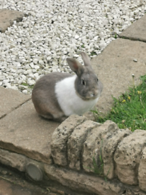 Gorgeous grey and white 1 year old buck rabbit for sale!