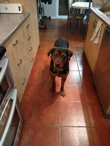 Chienne Rottweiler a vendre!