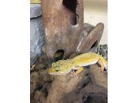 2 x Leopard Gecko