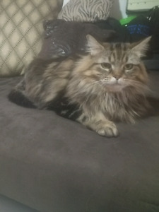Beautiful lovely cat for sale
