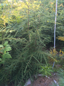 Beautiful Acadian Forest Trees for Sale