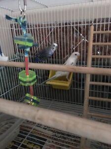 2 budgie birds