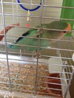 Lovebird and cage