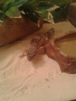 2 Snow Leopard Geckos ; lots of accesories, etc.