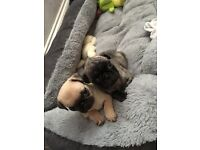 Male brindle pug puppy