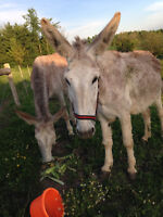 two large mammoth donkeys, well broke to lead!