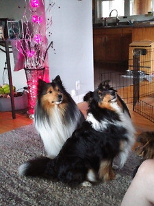 SHETLAND SHEEPDOG/SHELTIE PUPPIES