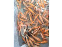 Orange and White koi fry