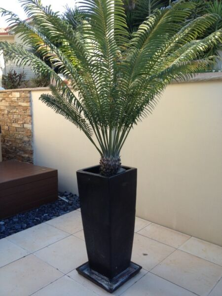 Tall black ceramic pots with palm trees wetherill park fairfield area