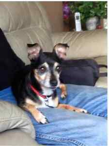 Minpin, 6 years old, to rehome