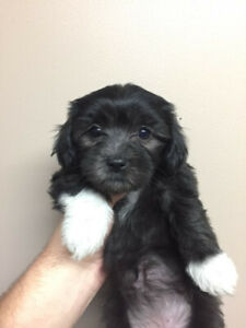 Havanese Puppy | Kijiji - Buy, Sell & Save with Canada's #1