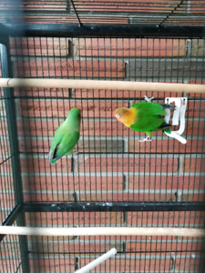 pair of love bird  and big cage