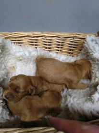 Golden Cocker Spaniel male puppy