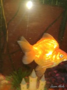 Three big fat gold fish