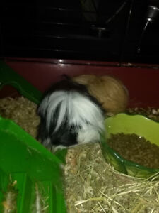 Free Female Guinea pig to a good home