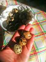 Quail eggs $4.00 Doz. Not fertile.
