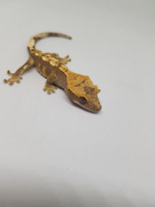 Baby Crested Gecko [unsexed]