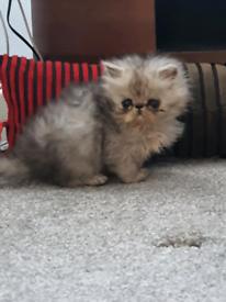 Persin kittens