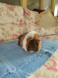 2 female bonded guinea pigs looking for a new home