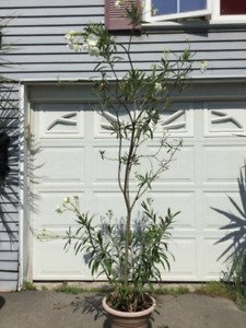 Plants, oleander 7' tall white or pink