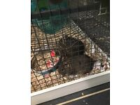 3 male degus, cage, food,... Needing a new home:)
