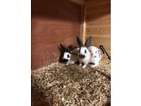 Baby English Rabbits
