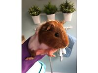Guinea pigs x 2 for sale